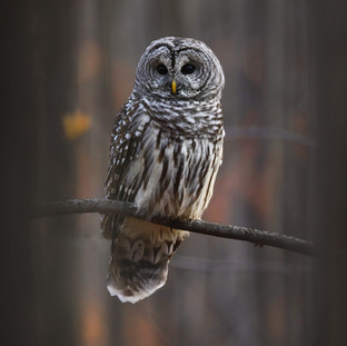 Chouette rayée  -  Barred owl