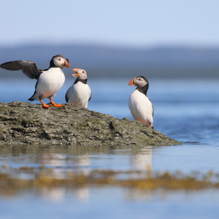 Macareux moine -Atlantic puffin