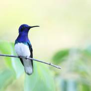 Colibri jacobin - White-necked jacobin - Florisuga mellivora