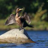 Cormoran à aigrettes - Double-crested cormoran
