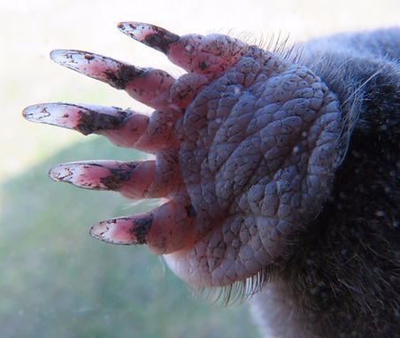 Here you can see the thickness of the skin and the powerfull claws used for digging