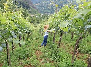 Georgie - druiven plukken wijngaard (1).