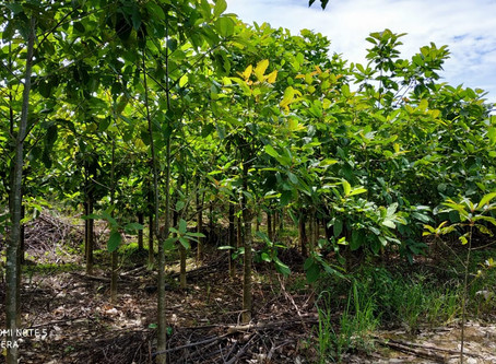 Check Out Where Our Kratom Comes From!