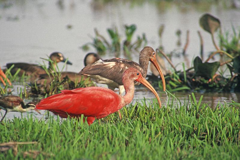 Scarlet Ibis F3.jpg