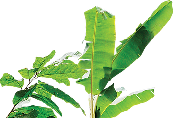 Cutouts showing a branch of leaves next to a banana tree leaves.