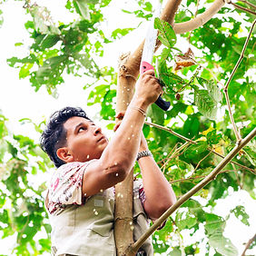 A farmer hangs onto a cacao tree to snip some leaves.