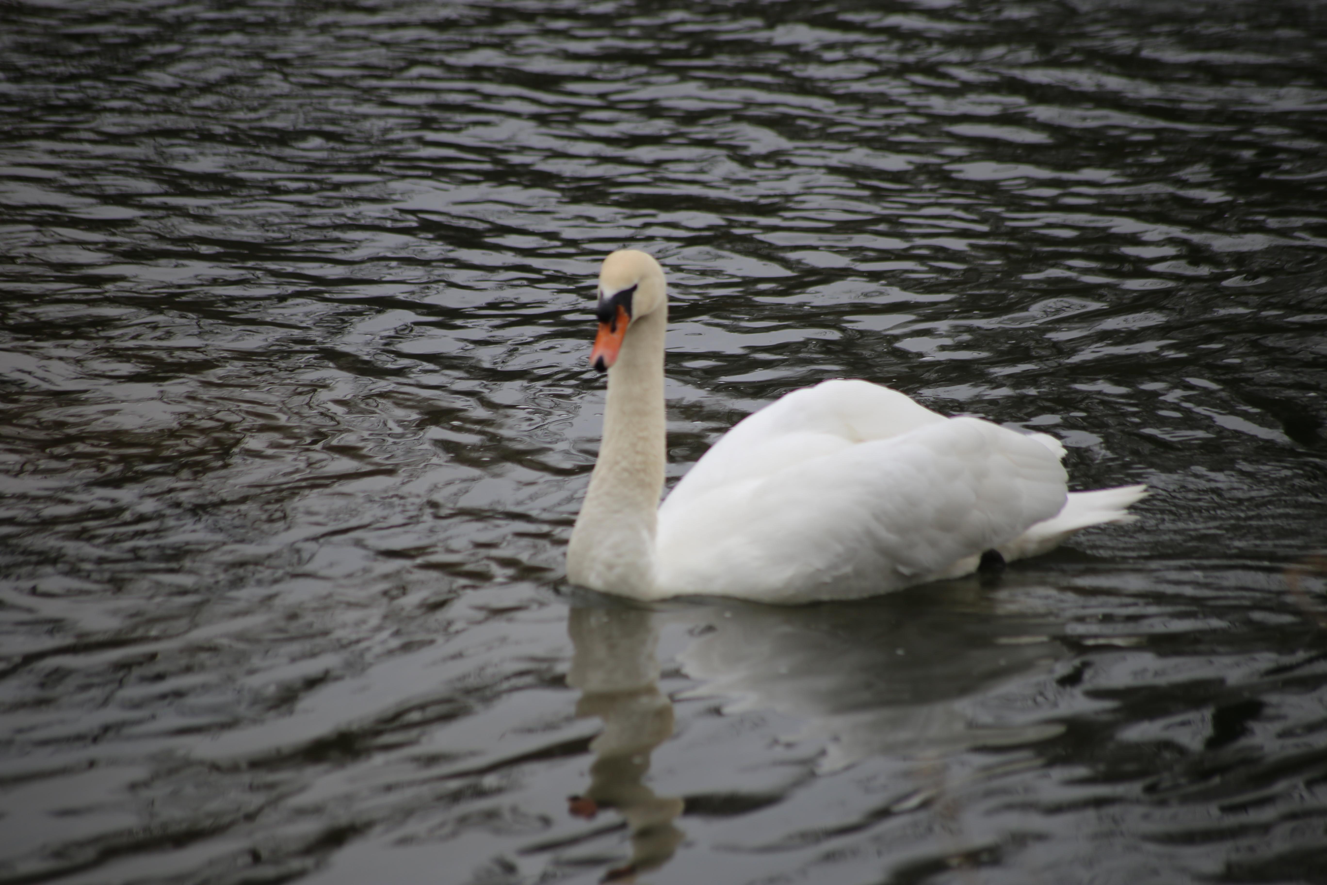 Daisychain Swan