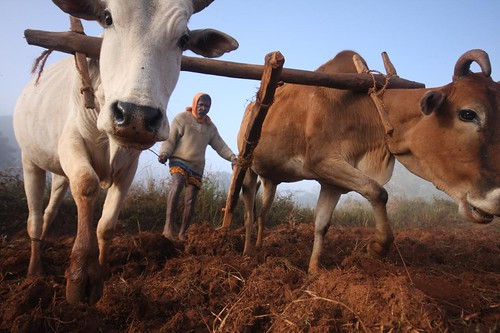Cows Tilling the Field | Machra