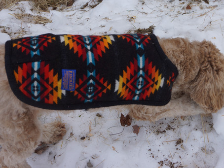 Sweater Girl - Five weeks to puppies!