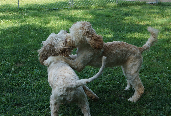 Wishing for the life of a puppy | AustralianLabradoodles