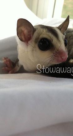 Stowaway Gliders Sugar glider joey