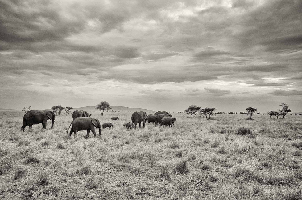 The population in the 1980a was around 1 million, with around 70'000 elephants being killed a year. The total African elephant population is now less than 470'000. African elephants are being killed for their ivory at such a rate that most large groups could be extinct by 2020.