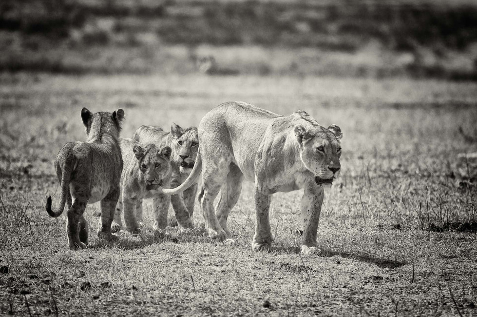 Lions have disappeared from over 80 percent of their historic range. They exist in 28 countries in Africa and one country in Asia, and are extinct in 26 countries. Only 7 countries: Botswana, Ethiopia, Kenya, South Africa, Tanzania, Zambia and Zimbabwe, are thought to each hold more than 1,000 lions.