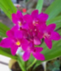 Fushia Terrestrial Orchid N 14th 2109 (2