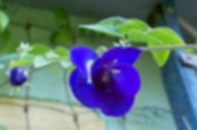 S30 Royal Blue Pole Bean.jpg