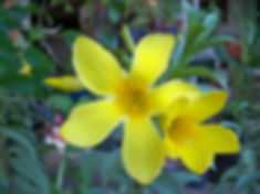 Small Yellow Buttercup Ornamental oct 19