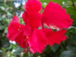 N22 Red Ruffle Hibicus (2).JPG