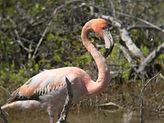 Greater Flamingo_A.McGowan.JPG