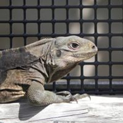 Endangered Anegada Rock Iguana