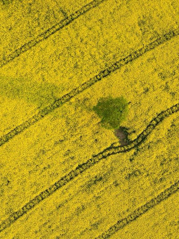 Aerial view of the Rapeseed field