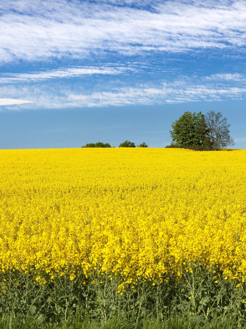 Field of Rapeseed Oil in flower