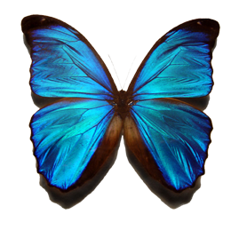 Blue_morpho_butterfly.png