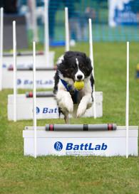 Border collie doing fly ball