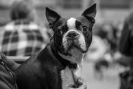 Crufts Boston Terrier