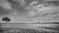 Wheat Field, North Warwickshire