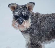Snowy Schnauzer