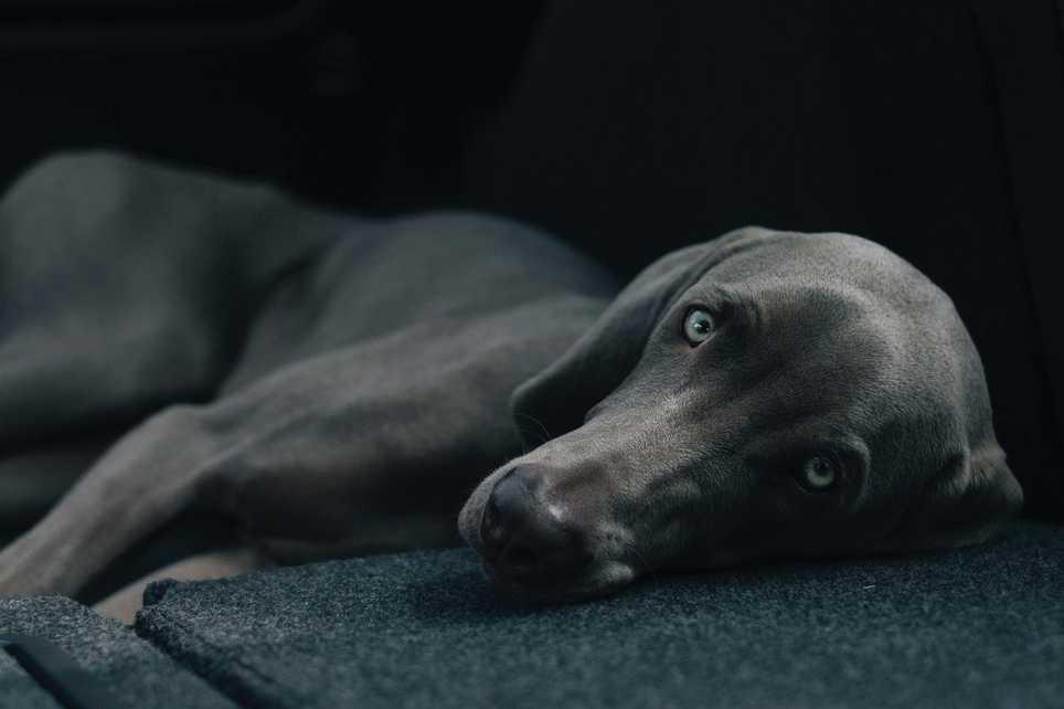 Heilsamer Blick: Hunde senken unter anderem das Risiko von Herzkreislauferkrankungen