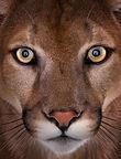 Arizona wild cats