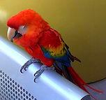 Cacatua Amazonian bird