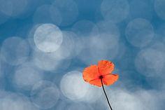 friedensblume.jpg
