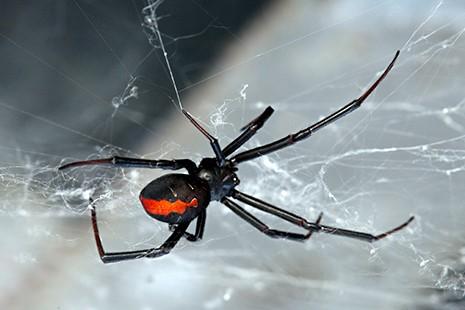 redback in web