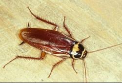 cockroach australian