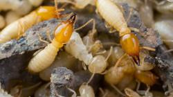 IMG_1960-termites