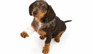dog bandage.webp
