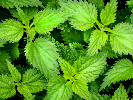 All About Nettles