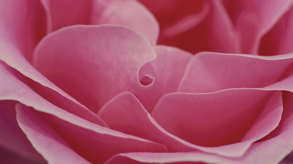 Rose_Wallpaper.png
