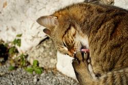 Cat licking paw