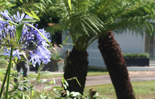 Agapanthus and Tree ferns