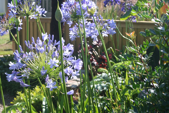 Bright Agapanthus bring drama to the garden