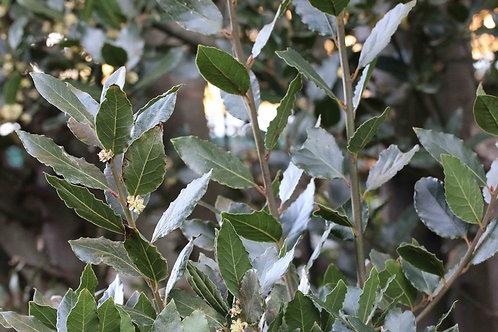 Bay Leaf    (fresh)