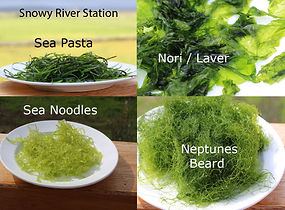 Seaweeds grown in Australia