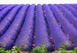 landscape-nature-plants-field-purple-blu