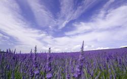 2560x1600-px-field-flowers-France-lavend