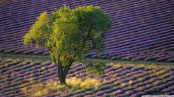 trees-landscape-field-green-lavender-Fra