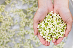 Canva - Jasmine flower in hand