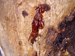 Eucalyptus Cladocalyx Tree Glue